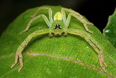 Green Huntsman Spider (Olios sp - cf), family Sparassidae, Singapore