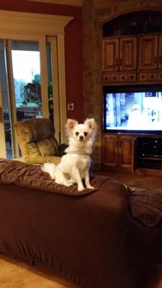 Meet Cricket (7 lbs), a Petfinder adoptable Chihuahua Dog | South Elgin, IL | Cricket is an adorable little Pom/ Chihuahua that is 7 lbs and fully grown. We believe she is...