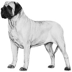 Mastiff Breed Standard Illustration.  GENERAL APPEARANCE  The Mastiff is a large, massive, symmetrical dog with a well-knit frame. The impression is one of grandeur and dignity. Dogs are more massive throughout. Bitches should not be faulted for being somewhat smaller in all dimensions while maintaining a proportionally powerful structure. A good evaluation considers positive qualities of type and soundness with equal weight.