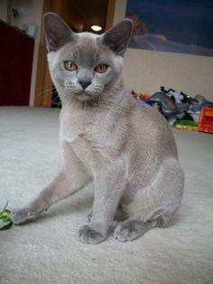 Barmské kočky Burmese Cats ART IN HEAVEN*CZ | Koťata/Kittens