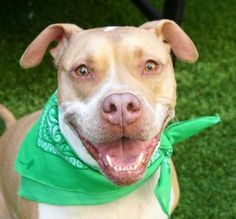 """ANGEL - A1117126 - - Manhattan  TO BE DESTROYED 07/11/17*PUBLICLY ADOPTABLE*  A volunteer writes: """"Do not judge a book by its cover!! Read it !!"""" This applies to my beautiful friend Angel, a handsome 6 year old family dog who came with Lucy, his sibling, as their owners did not have time for their pets anymore. Angel does not like his kennel. At home, he was not fond of his crate either. He is used to a big place called home. So he barks and sometimes grumbles i"""
