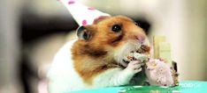 Tiny hamsters eat tiny cakes for a super silly tiny birthday party