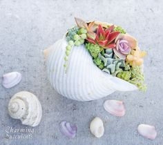 Succulents in seashell