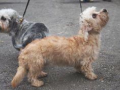Rare Dogs, Rare Dog Breeds, Dog Breeds List, Popular Dog Breeds, Small Dog Breeds, Dandie Dinmont Terrier, Terrier Dog Breeds, Terrier Puppies, Dogs And Puppies