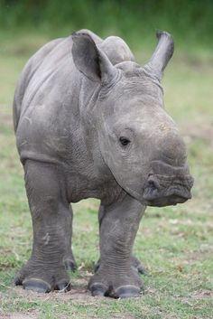Un bebé de rinoceronte blanco nació en el zoológico de Ramat Gan (18/06/12)