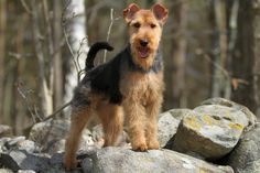 This is Truls, a very sweet Welsh Terrier I meet from time to time. He is in love with Zodd, but sadly I got no good shots of the two together ; Welsh Terrier, Airedale Terrier, Terriers, Mans Best Friend, Best Friends, Doggies, Dogs And Puppies, American Staffordshire, Rottweiler