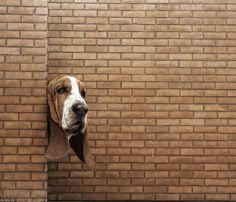Looks like my Basset Hound when he knows he is in trouble :)