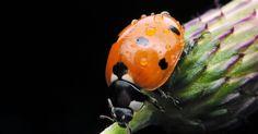Insetos que auxiliam os agricultores. Insetos são muitas vezes considerados, de forma errônea, nada além de pragas. Embora existam insetos destrutivos tais como gafanhotos, mais de 95 por cento deles são benéficos na realização de tarefas importantes para os agricultores, como polinizadores e alimentando-se de pragas. Sem insetos as plantas morreriam doentes ou parariam de dar frutos ...