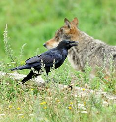 Raven and wolf. Raven leads wolf to sources of nourishment + they play with each other. A symbiosis, or mutualism in biologists terms.