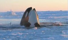 Killer Whales pods | Published on Jan 9, 2013A pod of Killer whales stranded in a patch of ...