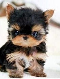 Yorkies are super cute puppies. Check out very cute pictures of baby yorkshire terriers, plus a little history of the Yorkie breed. Tiny Puppies, Cute Puppies, Cute Dogs, Tiny Dog, Small Dogs, Tiny Tiny, Funny Dogs, Cute Teacup Puppies, Miniature Puppies