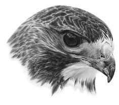 Hawk + Tutorial by PencilSessions.deviantart.com on @deviantART