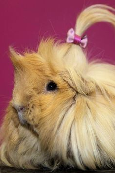 Guinea pigs have style too, you know.