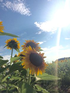 Sunflower in Japan.