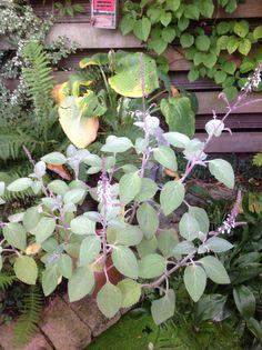 Plectantrus argentus