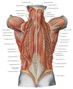 deep back muscles3