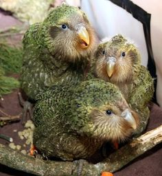 The Flightless Kakapo::Rarest of all birds in New Zealand. The species has been largely wiped out by introduced predatory mammals, such as feral cats. Rare Birds, Exotic Birds, Colorful Birds, Pretty Birds, Beautiful Birds, Animals Beautiful, Kakapo Parrot, Flightless Bird, Kinds Of Birds