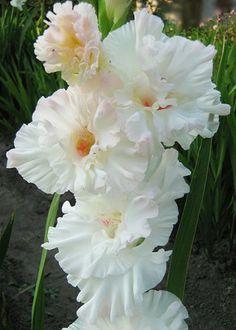 Gladiolus 'Flevo Snow'