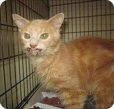 Dallas, GA - Domestic Longhair. Meet 13-10-3743 a Cat for Adoption. Please help this sweet baby get the medical attention he needs.  Please hurry this is a high kill shelter. Paulding County Animal Control.