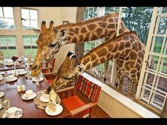 ¿Qué hacen las jirafas?