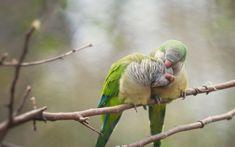 #birds, #parrots, #branches   Wallpaper No. 98386 - wallhaven.cc