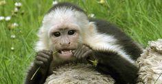 26.jun.2013 - O macaco capuchinho Mally é enviado para um recinto ao ar livre no Parque Serengeti, em Hodenhagen, na Alemanha. O antigo animal de estimação de Justin Bieber é, oficialmente, propriedade do governo alemão. No fim do mês de março, durante a turnê europeia do cantor, as autoridades alemãs confiscaram o animal por falta de documentação e licença adequadas para transporte de animais selvagens Holger Hollemann/Efe - Fotos - UOL Notícias