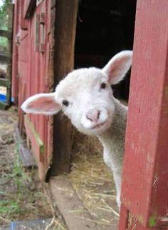 Lamb by araceli