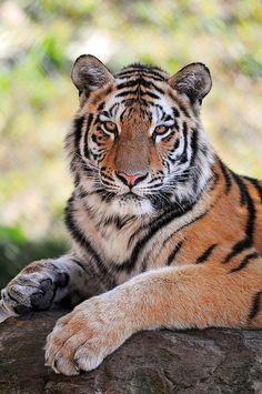 Posing young tiger by Tambako the Jaguar, #tiger