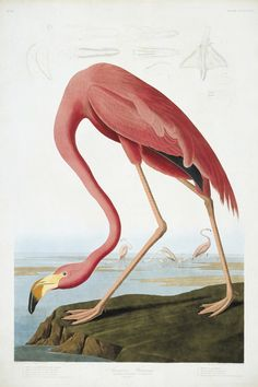 Jean-Jacques Audubon : Flamant Rose (the greater flamingo)