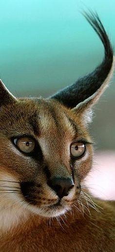 Caracal, or Desert Lynx.