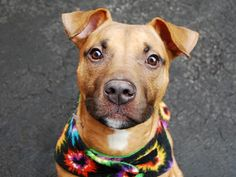 MACHO - ID#A1023311-NYC ACC- I am an unaltered male, brown and black American Staffordshire Terrier mix. The shelter staff think I am about 9 months old. I weigh 48 pounds. I was found in NY 10035. I have been at the shelter since Dec 16, 2014. http://www.petharbor.com/pet.asp?uaid=NWYK.A1023311