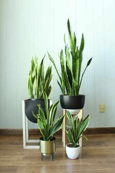 Good to Know: How to Care for House Plants (pictured: Snake Plants)