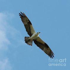 #osprey #birds