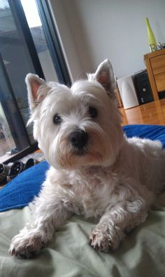 Coco, the western highland terrier.