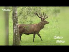 New videoclip in the StockShot PermaStore: Nature Notes: #Edelhert - #Red Deer >> http://youtu.be/w_jDXW4re3A