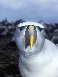 My Two Moms: Albatross Rearing|Halibut Herald