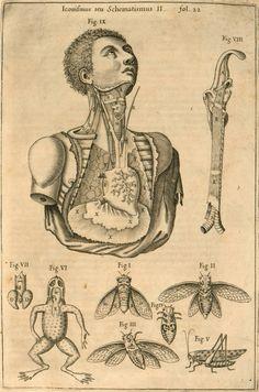 Athanasius Kircher: Musurgia larynx/thorax - comparative anatomy