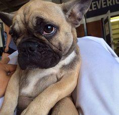 """""""I wuv you"""", French Bulldog Puppy"""
