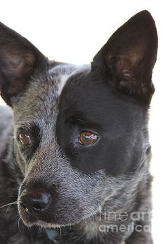 Australian Cattle Dog- love him! Aussie Cattle Dog, Austrailian Cattle Dog, Cattle Dogs, Dog Rules, Dogs And Puppies, Doggies, I Love Dogs, Best Dogs, Dog Breeds
