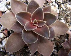 Echeveria hybrid carnicolorXdefractens