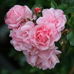 Rosenholm Courtyard.  Forædler: Poulsen, 1996.  Plantegruppe: Slyngrose.  Vækst:over 300cm.  Farve:rosa.  Duft: duftløs.  Fyld:20 -40 kronblade.  Lyskrav: mindst 6 timers sol.  Sæson: remonterende.