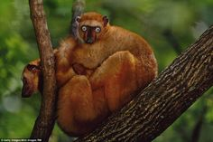 Blue-eyed black lemur in a tree located in Madagascar. These creatures eat ripe fruit, leaves, flowers and occasionally insects. Females are dominant as in most lemur species, and there are usually more males than females in each social group Species Extinction, Endangered Species, Primates, Mammals, Flying Lemur, Frans Lanting, Forest Habitat, List Of Animals, Tropical Forest
