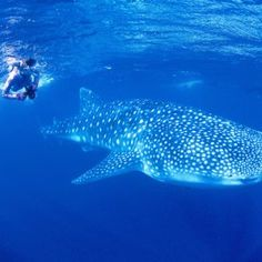 Swimming with Whale Sharks on Western Australia's Coral Coast is the underwater experience of a lifetime, and between mid-March and mid-July, whale shark watching or snorkeling tours to Ningaloo Reef run from Exmouth and Coral Bay.
