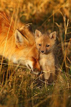 """""""Spring Comfort""""    Red Foxes ( Vulpes vulpes ) - Breckenridge, Colorado"""