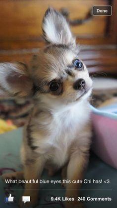 Cute chihuahua!! Soooo sweet!