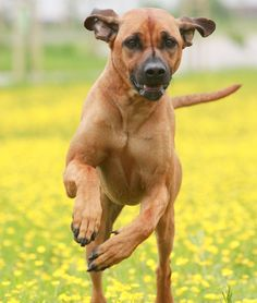 """10 Cool Facts About Rhodesian Ridgebacks From your friends at phoenix dog in home dog training""""k9katelynn"""" see more about Scottsdale dog training at k9katelynn.com! Pinterest with over 18,500 followers! Google plus with over 120,00 views! You tube with over 400 videos and 50,000 views!! Twitter 2200 plus;) proudly serving the valley for 11years!"""