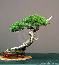 Mugo Pine Bonsai Royalty Free Stock Images - Image: 1587069
