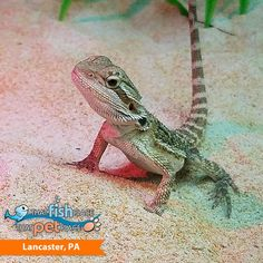 Did you know? In 2005 it was discovered that Bearded Dragons produce a mild venom that is harmless to Humans! Unlike many lizards, Beardies tolerate handling well. www.thatpetplace.com/