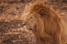 A free high-resolution photo of lion, mane, safari, powerful and predator by Amar Yashlaha, taken in Tanzania with an Canon Canon EOS Mark II Itsy Bitsy Spider, Tier Wallpaper, Animal Wallpaper, Short Inspirational Quotes, Motivational Quotes, Find Your Strengths, Life Coach Quotes, Strong Willed Child, African Safari