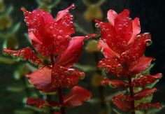 Freshwater Aquarium Plants | Rotala Macrandra Red